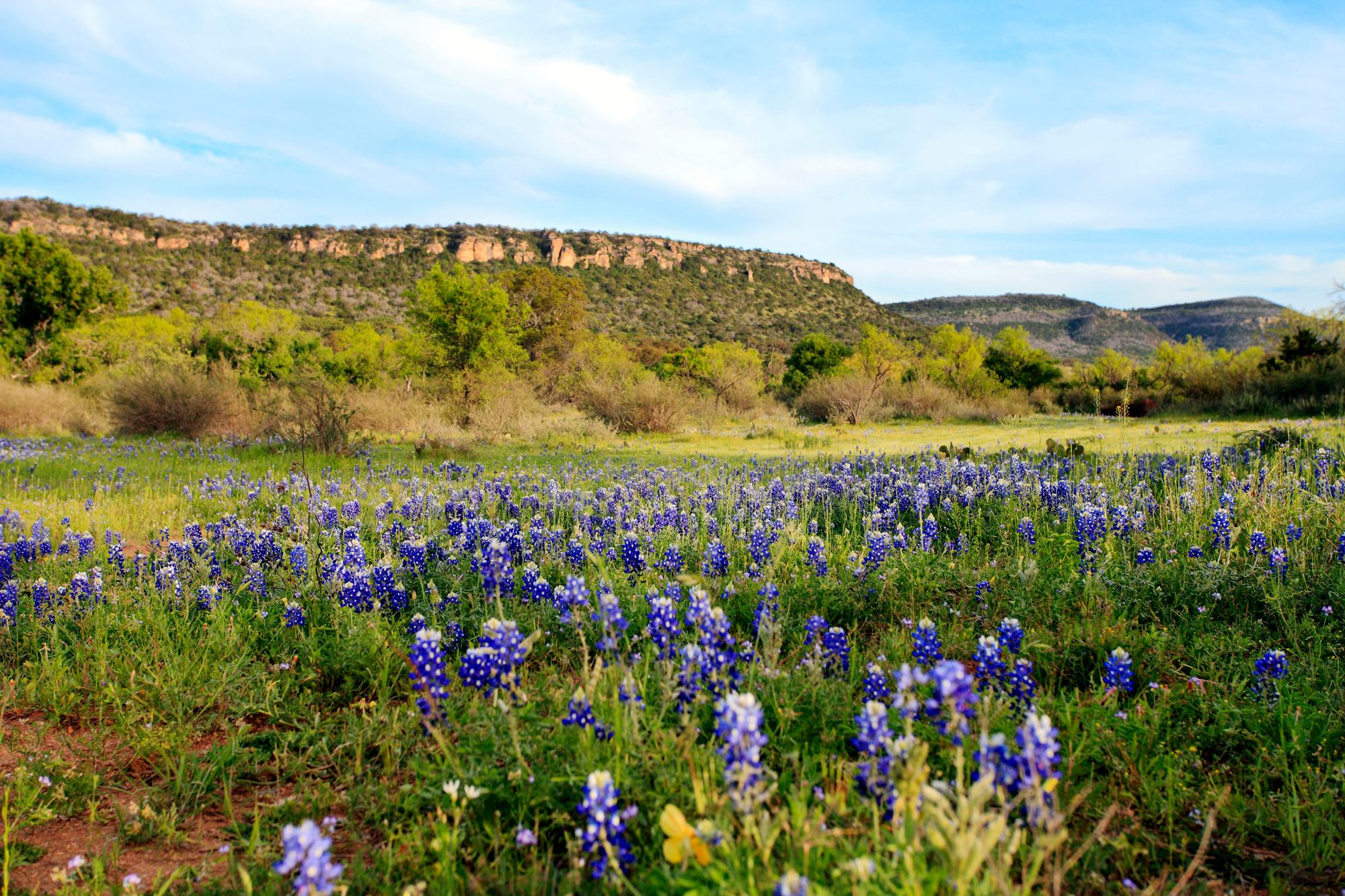 Field of Bluebonnets in Bloom